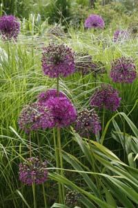 Allium foto: Susanna Rosén
