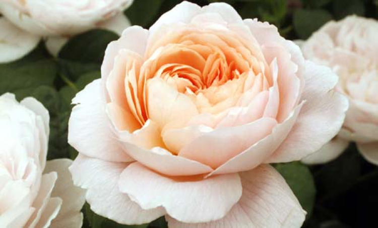 Romantiska blommor