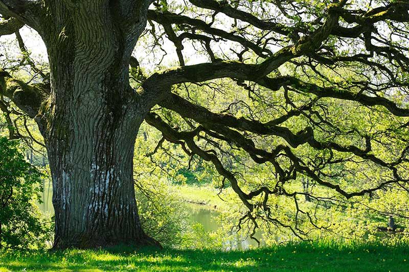Fantasi kring en gammal ek