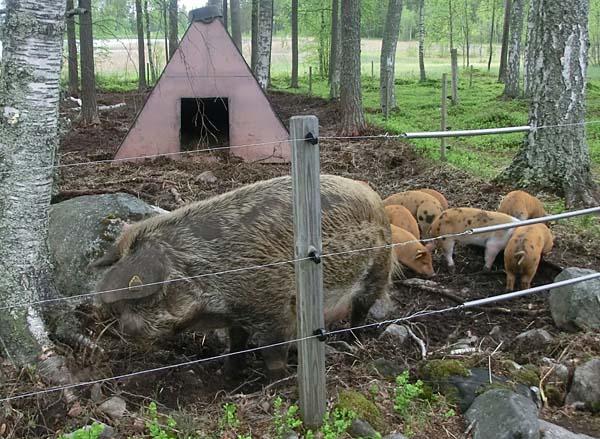 Försommarvandring bland lamm och griskultingar
