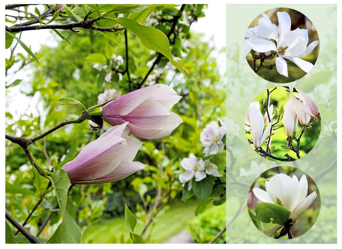 Undersköna magnolior!