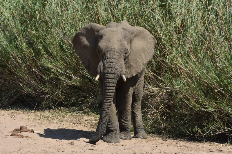 Jagad av törstig elefant