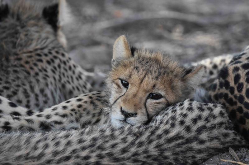 Kalahariöknen