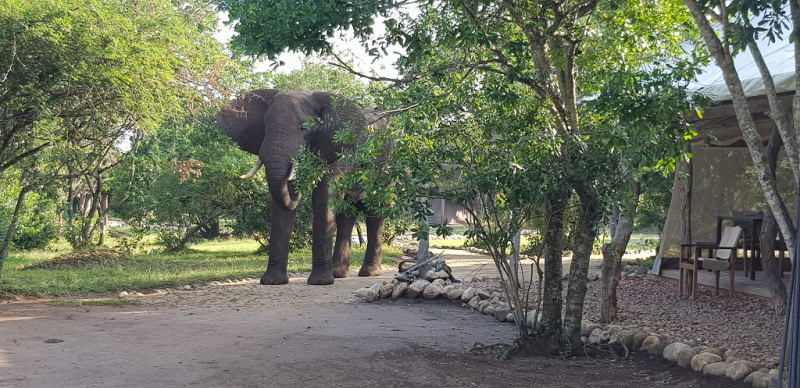 Vi får besök av en elefant och en flodhäst i vårt tältläger.